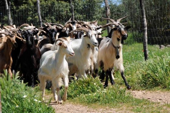 Cilento adottare una capra su facebook fa bene al cuore - Immagini da colorare capra ...
